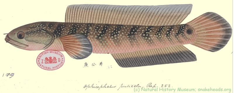 Drawing of C. puticola by Reeves