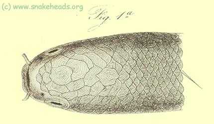 Head of c. bankanensis, drawing of Bleeker's atlas, table 397, fig. 1a