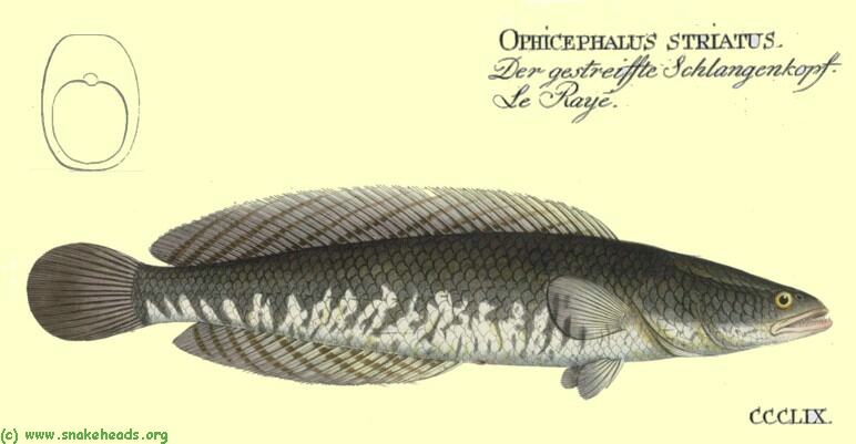C. striatus by Bloch