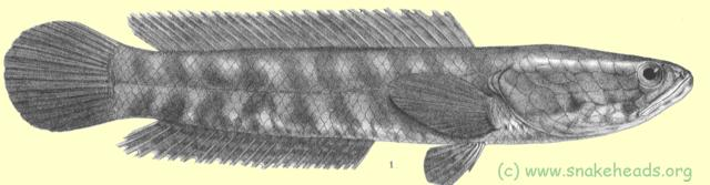 Drawing of O. punctata by F. Day