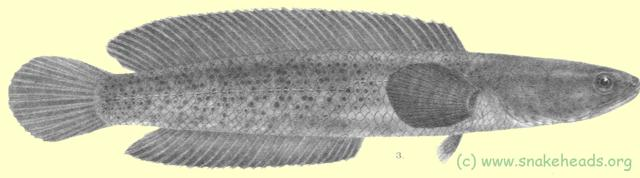 Drawing of O. stewartii by F. Day