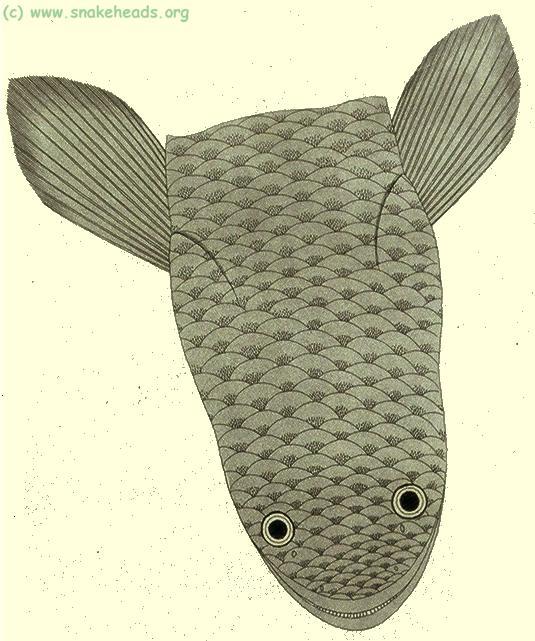 C. punctata by P. Russel, top view